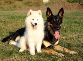 samoyed and a german shepherd by bubumo