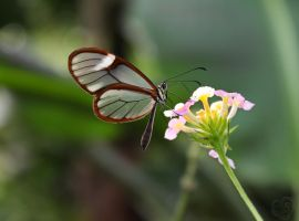 Glasswinged Butterfly - Greta oto by Heart-Luck