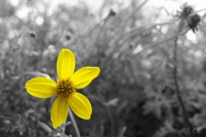 Yellow marguerite by lenii