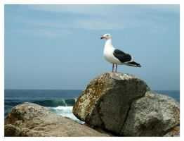 California Gull by jeepgurl8204