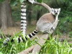Ring-Tailed Lemur by Shrewdy