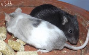 M. Fat and baby rat by Sea-Pancake