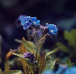 Pretty blue flowers by DevchonkaLucky