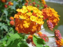 Orange flowers. by maybe-is-everything