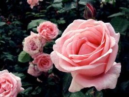 Paint the Roses Pink by asyenka
