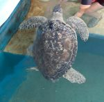 sea turtle by MLeighS