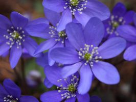 European hepatica by Cookie1305