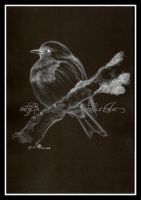 Robin in Charcoal by toujin