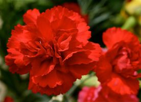 Red Carnations by MissSpocks