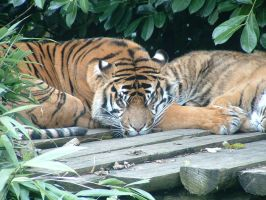 sleeping tiger by Birchall96