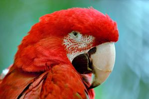 Red parrot by Manyroomsphotography