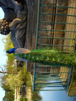 Stock 285: peacock perched by AlzirrSwanheartStock