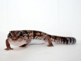 Tella, Our Fat Tailed Gecko by beegearama