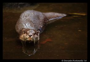 Otter Stare by TVD-Photography