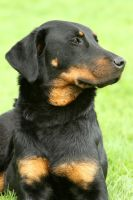 Beauceron lady by SaNNaS