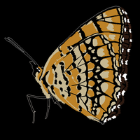 Butterfly Vector by I-loot-I