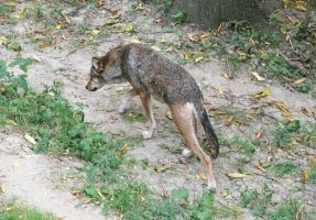 Red Wolf Stock 43 by HOTNStock