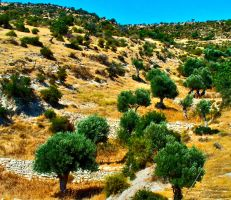 OLIVE TREES 2 by vanouka