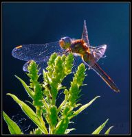 dragonfly4 by RichardRobert