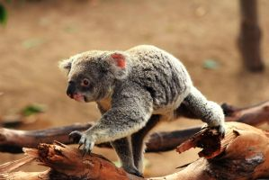 Racing Koala is making good time over the branch! by Celem