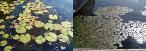 Lily pads by Ripplin