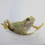 Frog in a cup. by HeatherSchoff