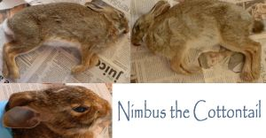 Nimbus The Juvenile Cottontail by galianogangster