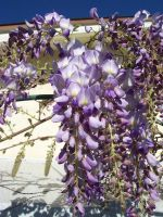 Wisteria 2008-03 by MikeHungerford