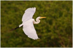 Great Egret by Ryser915