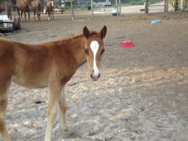 Cute foal alert!!!!--Horse by LazyHcustomtack