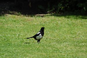 273 - magpie by lonesome-stock
