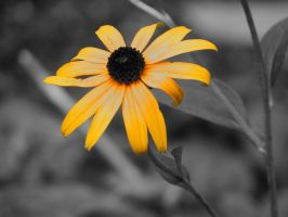 Rudbeckia Flower by Kitteh-Pawz