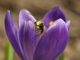 Bathing in a Crocus by AgiVega