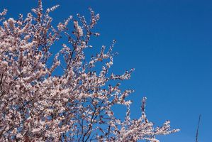 Cherry Blossoms 2 by KariLouMc