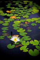 Lillypads by misdirekted