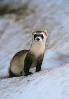 Ferret by FerretCurse