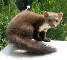 My marten - 2 by Zengel