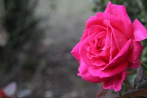 Pink Rose Photography by Onigiripencil