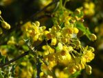 Barberry by norif