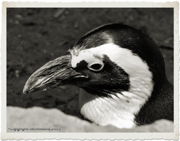 Penguin in Black and White by Wilmsy