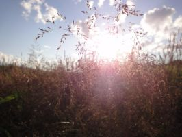 Grasses in the Sun. by LoveIsMyHate