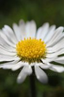 D-d-d-daisy by bicyclegasoline
