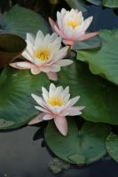 Water lily Stock 21 by Malleni-Stock