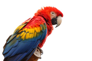 Macaw PNG by Msgrassisgreener