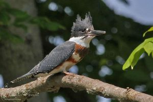 Belted Kingfisher by mydigitalmind