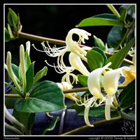 Honeysuckle by TRE2Photo-n-Design