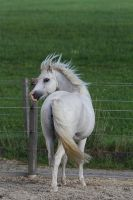 Miniature Arabian - Welsh Pony by LuDa-Stock