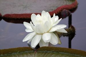 White Water Lily by CASPER1830