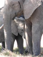 Elephant and baby by essyke