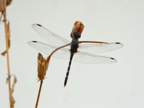 a dragonfly by xDeepS